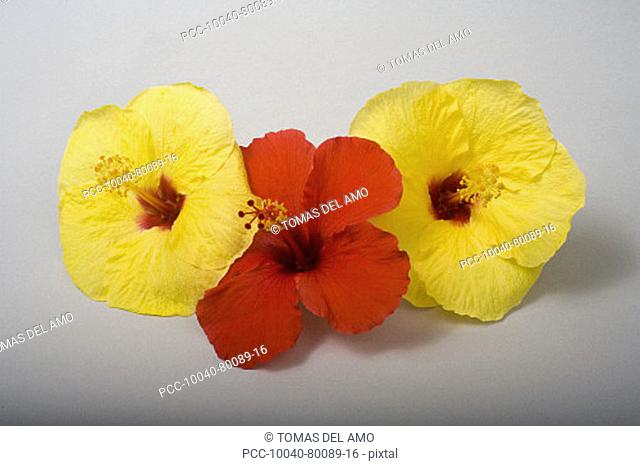 Studio shot of three hibiscus', two yellow, one red, on white background