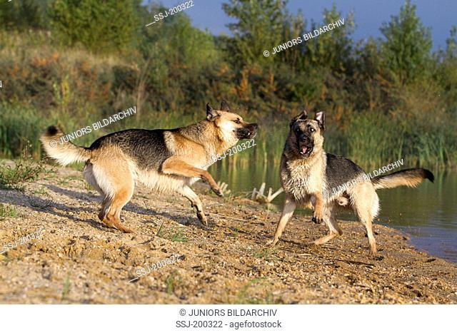 Mixed-breed dog (German Shepherd x ?). Two adults playing at the waters edge. Germany