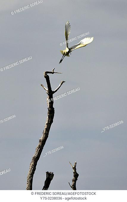 Black-headed Ibis,Prek Toal sanctuary,Tonle Sap lake,Cambodia,South east Asia
