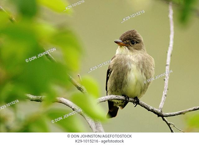 Willow flycatcher Empidonax trailii hunting caterpillars in shrub