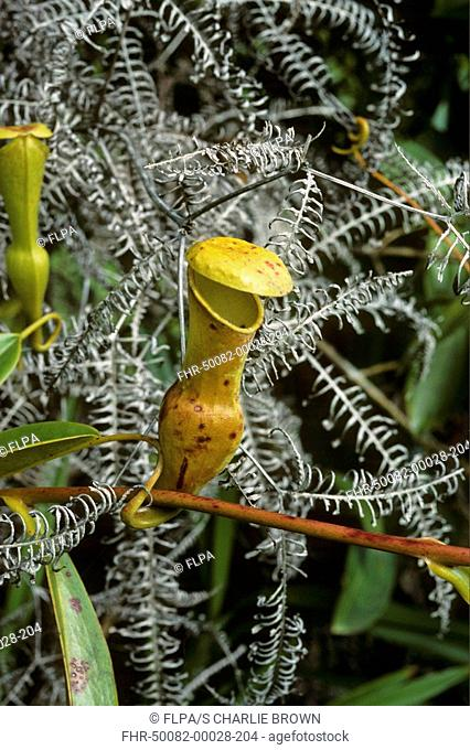 Pitcher Plant Nepenthes pervillei Mahe, Seychelles