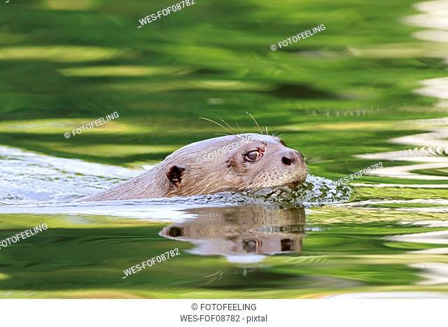 Peru, Manu National Park, Cocha Salvador, Giant otter
