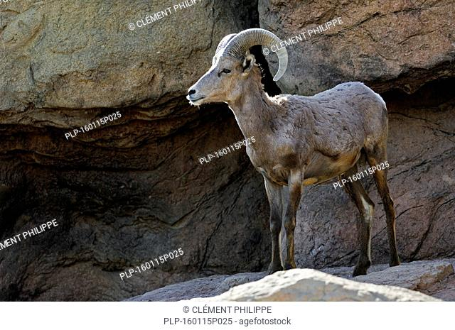 Nelson's bighorn sheep / Desert bighorn sheep (Ovis canadensis nelsoni) male standing on ledge in rock face, native to deserts of Southwestern United States and...