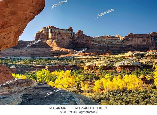 Cottonwood trees displaying brilliant autumn foliage in Squaw Canyon, Canyonlands National Park Utah USA