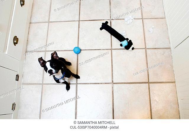 Dog with toys on kitchen floor