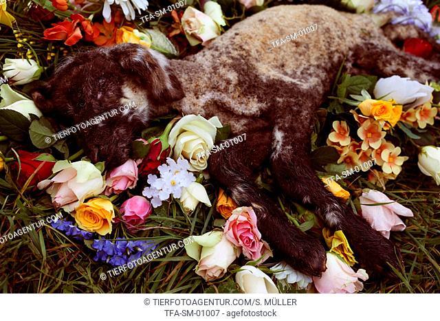 deceased lamb
