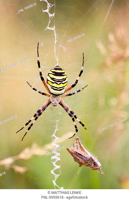 Wasp Argiope bruennichi spider with grasshopper