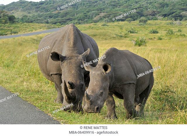 South Africa, Kwazulu Natal, St Lucia Wetland Park listed as World Heritage by UNESCO, white rhinoceros (Ceratotherium simum)