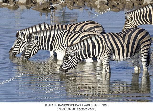 Herd of Burchell's zebras (Equus quagga burchellii), standing in water, drinking, Okaukuejo waterhole, Etosha National Park, Namibia, Africa