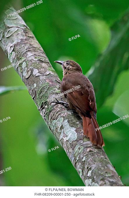 Plain-brown Woodcreeper (Dendrocincla fuliginosa ridgewayi) adult, clinging to branch, Plantation Trail, Panama, November