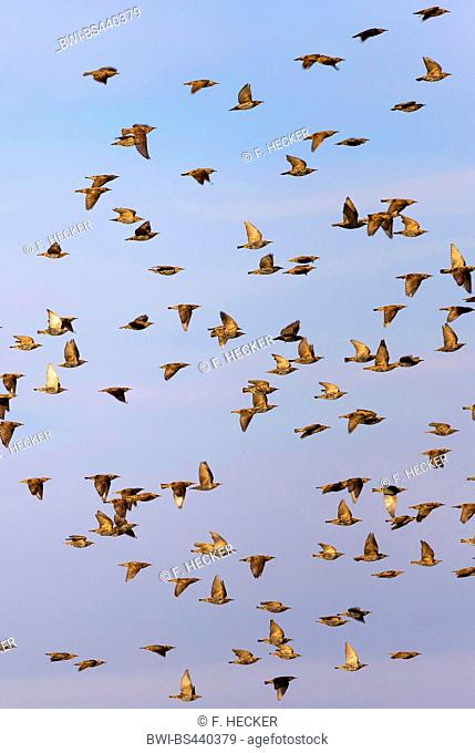 common starling (Sturnus vulgaris), flying flock, Germany