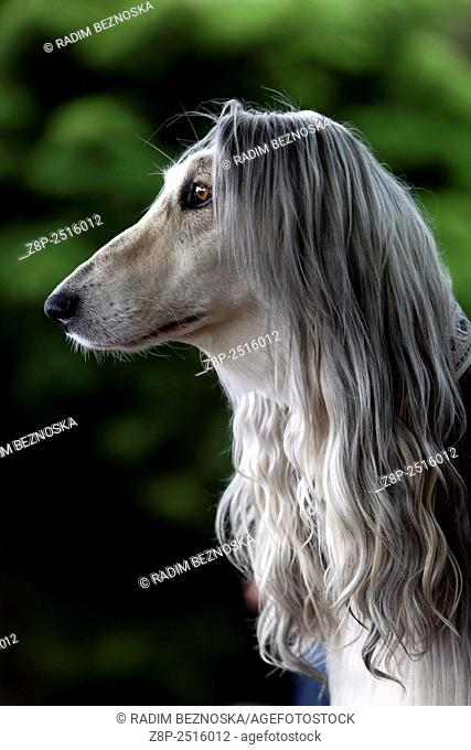 Afghan Hound - Portrait
