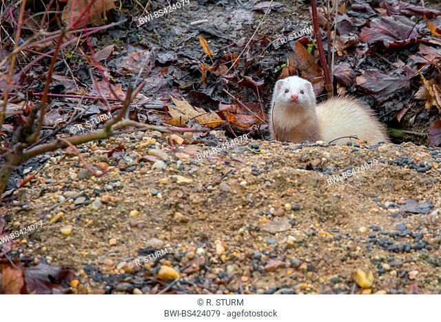 domestic polecat, domestic ferret (Mustela putorius f. furo, Mustela putorius furo), looks out of a rabbit warren, Germany
