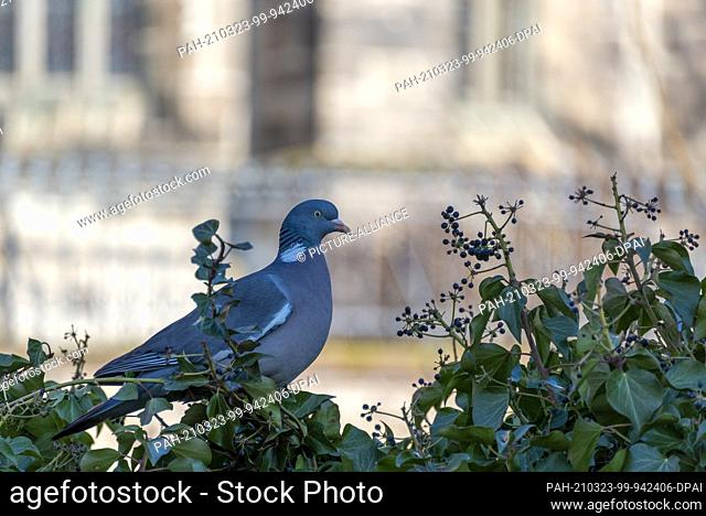 18 March 2021, Saxony-Anhalt, Magdeburg: A wood pigeon sits in a hedge in front of Magdeburg Cathedral. Photo: Stephan Schulz/dpa-Zentralbild/ZB