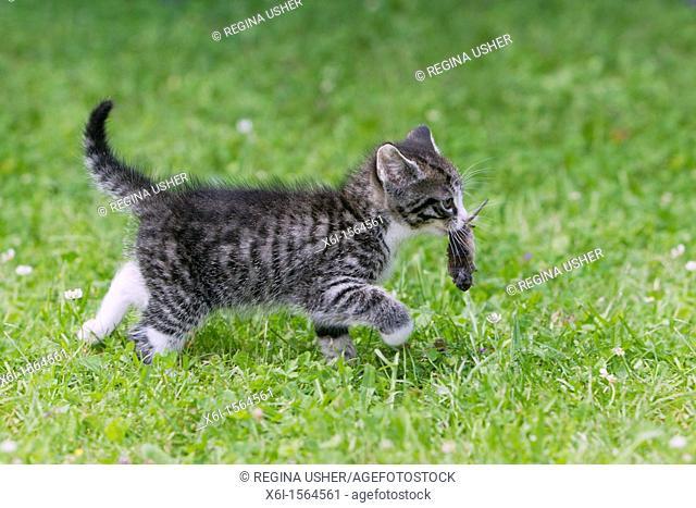 Kitten, transporting caught shrew across garden lawn, Lower Saxony, Germany