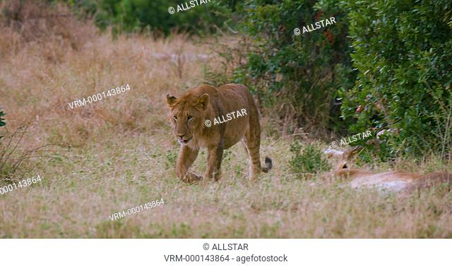 YOUNG LION WALKING; MAASAI MARA, KENYA, AFRICA; 03/09/2016