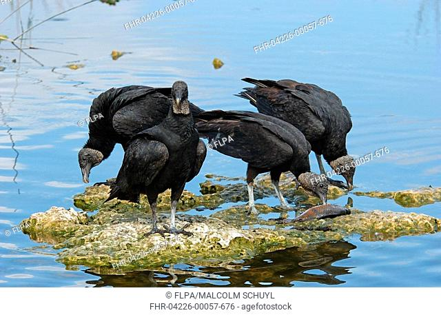 Black Vulture Coragyps atratus adults feeding on fish, Florida, U S A