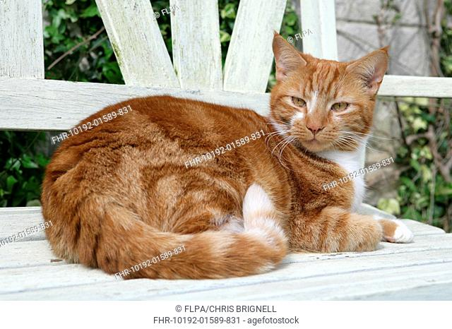 Domestic Cat, ginger and white tabby, adult, resting on garden bench, England, april