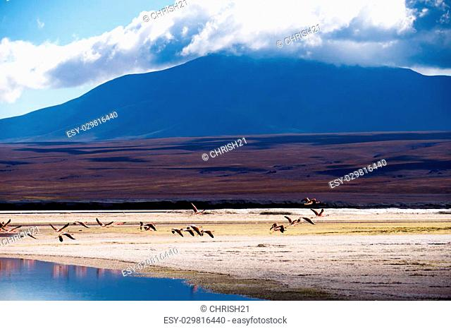 Flamingos flying away at a lagoona in the bolivian highlands