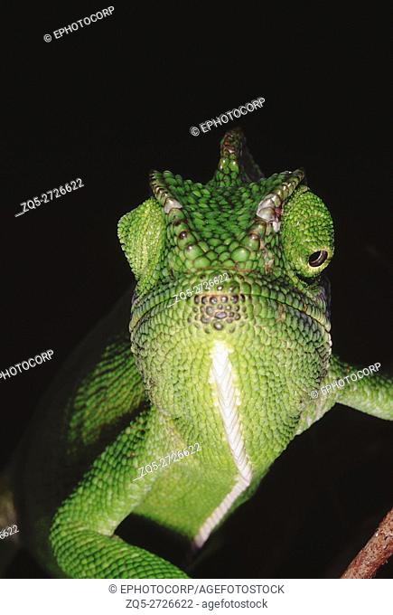 The chameleon has the ability to change its colour as well as shade depending on its mood and surroundings. Chameleon Zeylanicus