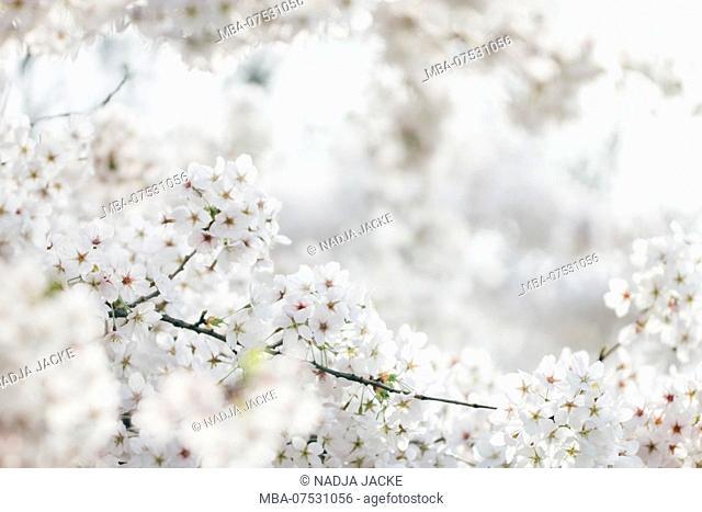 White cherry blossoms in the sunshine, springtime
