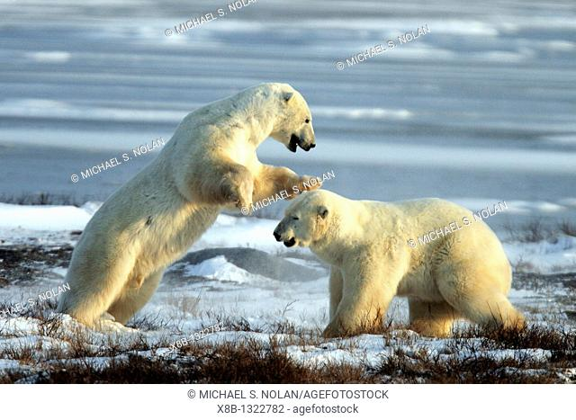 Two adult male Polar Bears Ursus maritimus engaged in ritualistic fighting serious injuries are rare near Churchill, Manitoba, Canada