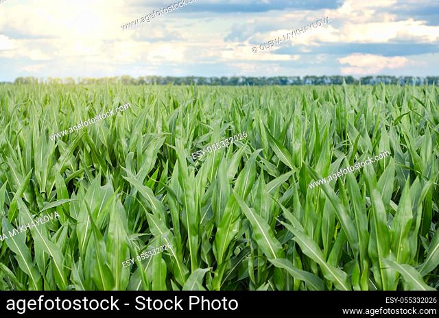 Corn field under blue sky view summer time