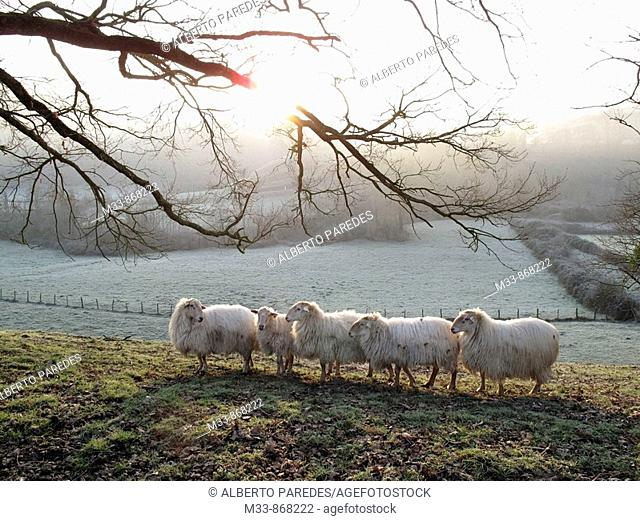 Sheep near Saint-Jean-Pied-de-Port. Way of St James, Pyrenees-Atlantiques, Aquitaine, France