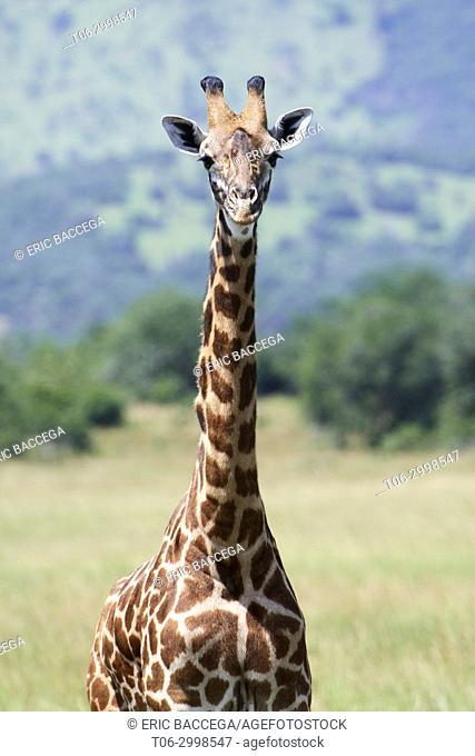 Portrait of Maasai giraffe (Giraffa camelopardalis tippelskirchi), Akagera National Parc, Rwanda, Africa