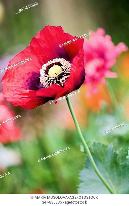 Pink Poppy Flower. Papaver somniferum paeoniflorum