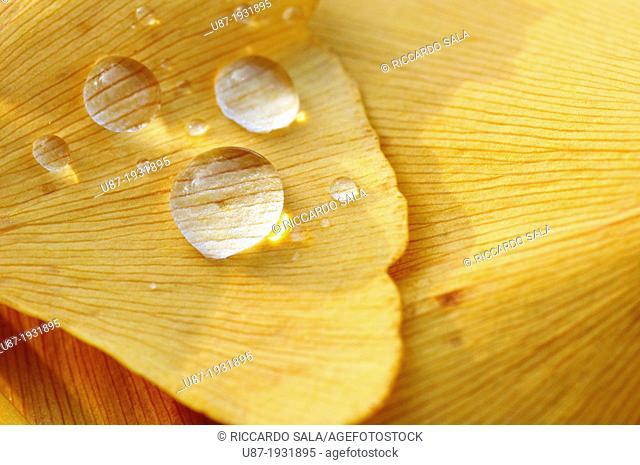 Italy, Lombardy, Park, Ginkgo Ginkgo Biloba Leaves
