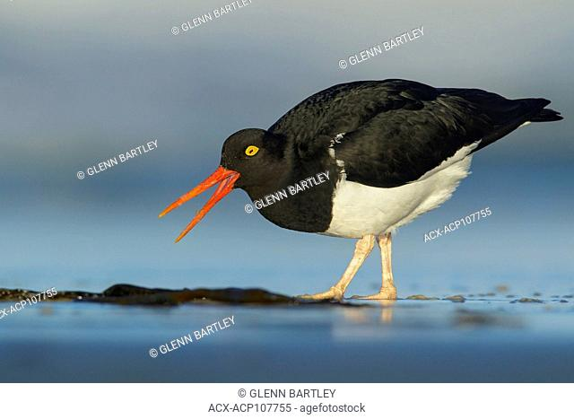 Magellanic Oystercatcher (Haematopus leucopodus) feeding along the shoreline in the Falkland Islands