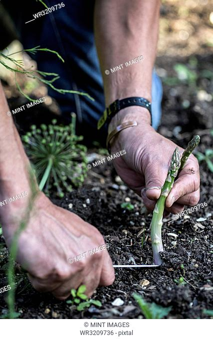 Close up of person picking green asparagus in garden