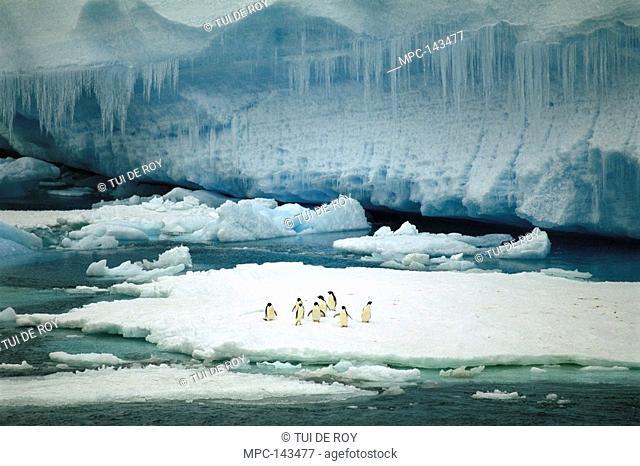 Adelie Penguin Pygoscelis adeliae, group resting on ice floe by tabular berg, Antarctic Sound, Antarctic Peninsula, Antarctica