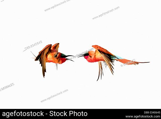 Southern Carmine Bee-eater (Merops nubicoides) in flight, Zambezi River, Namibia, Africa