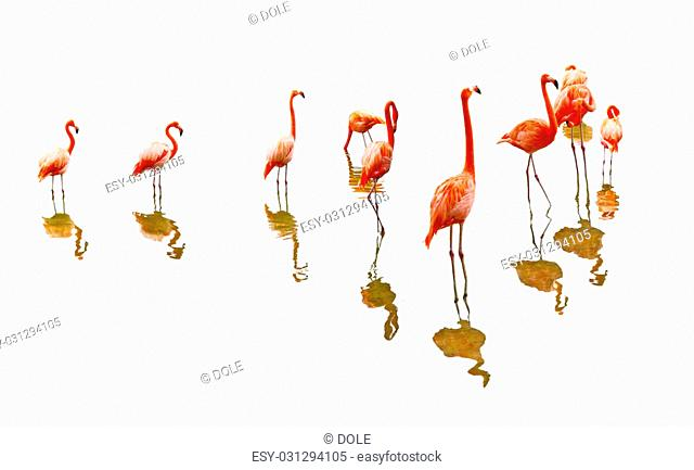 Red flamingo birds reflection isolated on white background