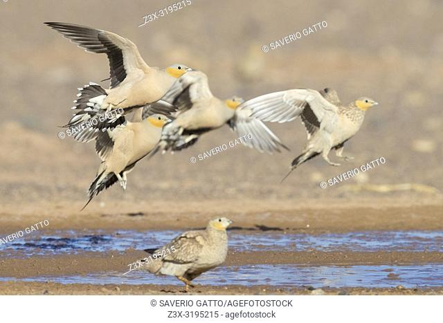 Spotted Sandgrouse (Pterocles senegallus), small flock landing at drinking pool