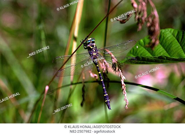 Golden-ringed Dragonfly Cordulegaster boltoni at a twig. Cordulegaster boltoni is one of the largest domestic dragonflies and lives at small and clean brooks –...