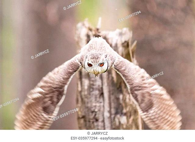 Northern White-faced Owl or Otus leucotis flying