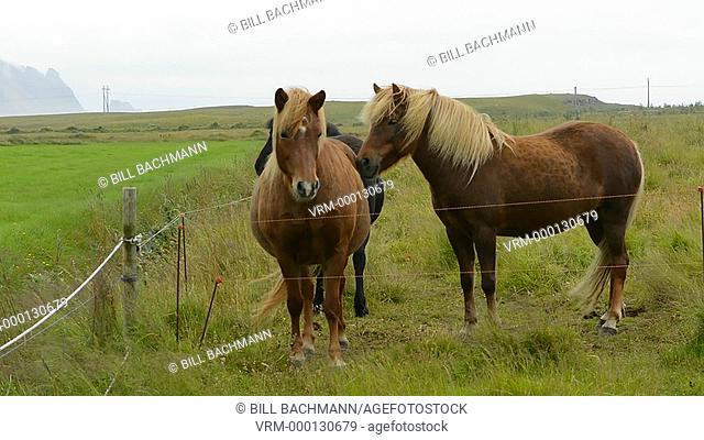 Iceland Djupivogur Icelandic horses on farm closeup in Eastern Iceland