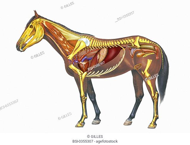 Anatomy of a mare with , the heart, the liver, the pancreas, the genitourinary tract. At the level of the crotch, the mammary body