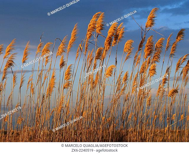 Reeds at Garxal coastal lagoon. Ebro River Delta Natural Park, Tarragona province, Catalonia, Spain