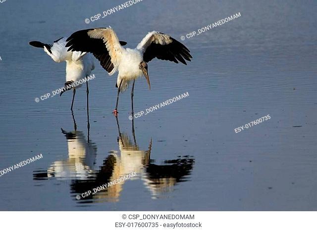 Wood stork spreading wings