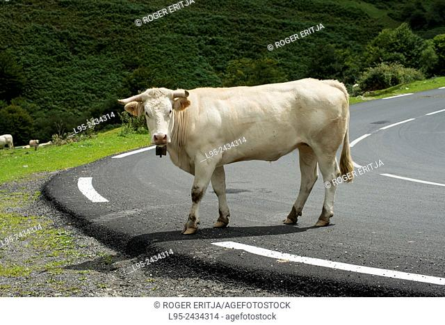 Cow crossing the road, Pyrenees, France