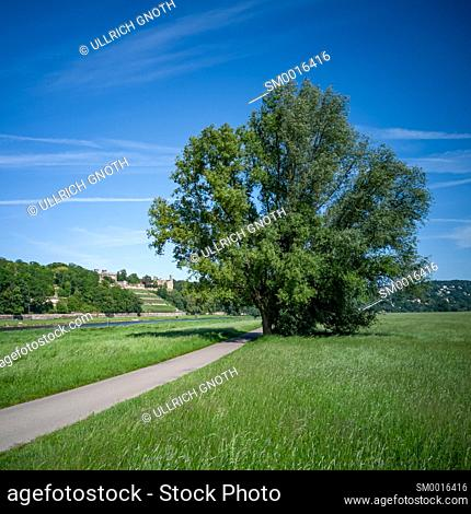 Urban scenery with tree and Elbe riverside meadows in Johannstadt, Dresden, Saxony, Germany