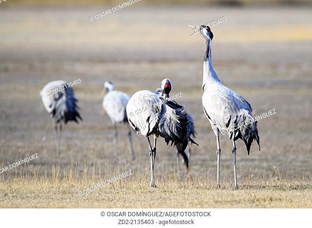 Eurasian / Common Crane (Grus grus) group on habitat. Gallocanta lagoon. Zaragoza province. Aragon. Spain