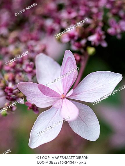 Beautiful soft pink Summer flower close up