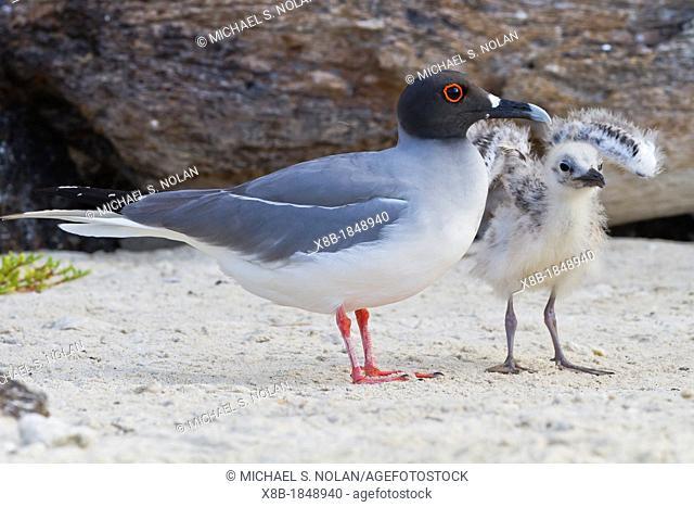 Adult Swallow-tailed gull Creagrus furcatus with chick on Genovesa Island in the Galapagos Island Archipelago, Ecuador