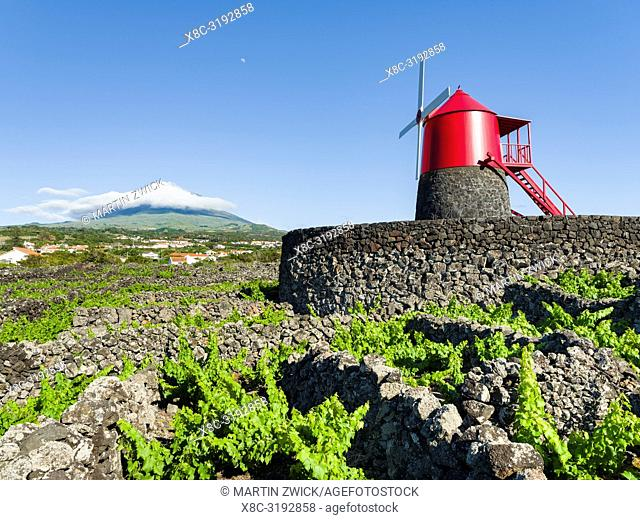 Traditional viniculture near Criacao Velha, traditional wine growing on Pico is listed as UNESCO world heritage. Pico Island
