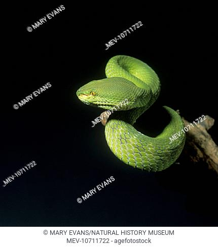 Photograph of a bamboo pit viper (Trimeresurus albolabris) wrapped around a tree branch